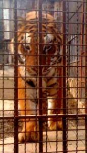 Una delle tigri del Parco Martinat