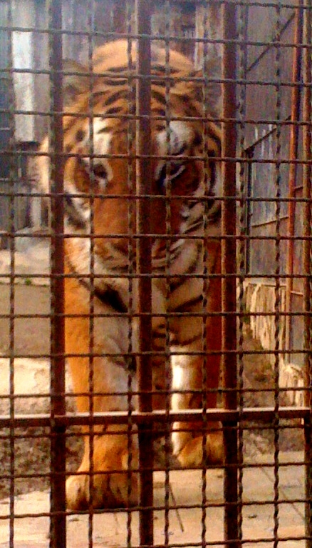 Le tigri del parco Martinat cercano ancora casa