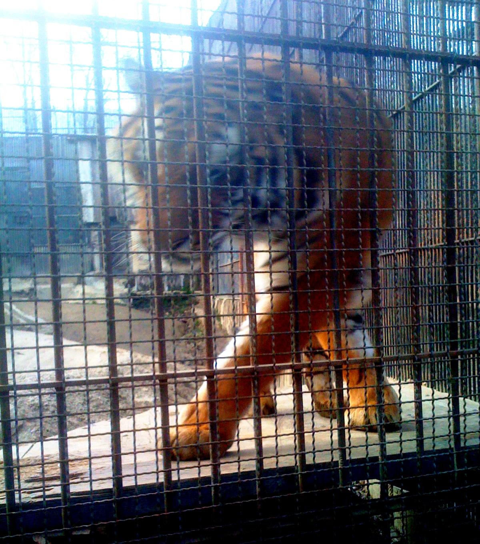 Dramma al parco Martinat di Pinerolo, il custode ucciso dalle tigri