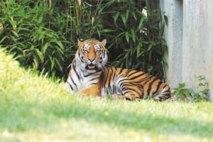 Tigri Pinerolo - Bioparco ZOOM Cumiana