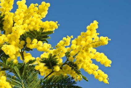 Una mimosa per chi soffre