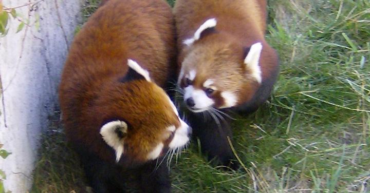 Due rari esemplari di Panda Rosso allo Zoom di Cumiana