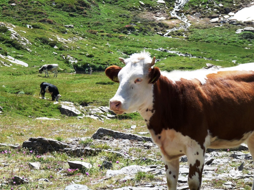 Sospetto mucca pazza a Torino. L'Istituto Zooprofilattico rassicura: nessun allarme per il consumo di carni bovine
