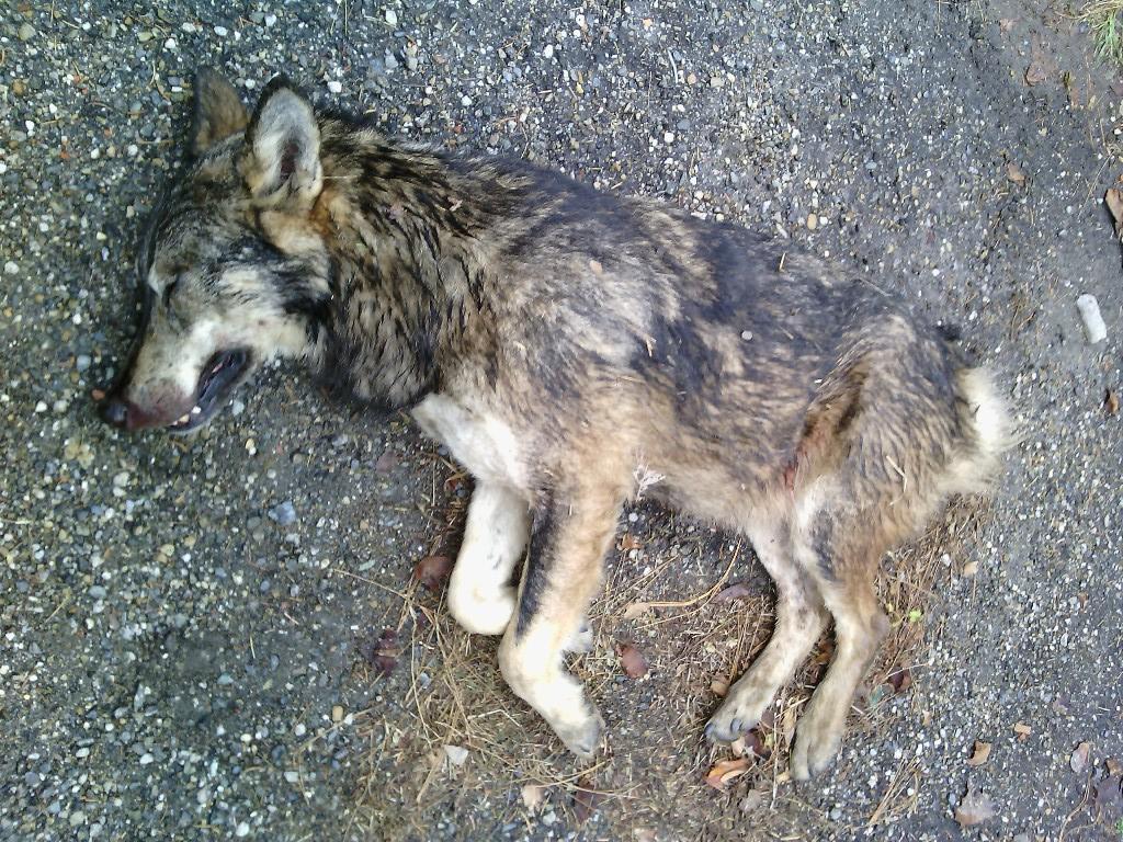 Valle di Susa. Trovato e segnalato dai cittadini un esemplare di lupo morto