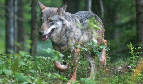 """Dal lupo a """"Piemonte Sicuro"""" non mancano i convegni"""