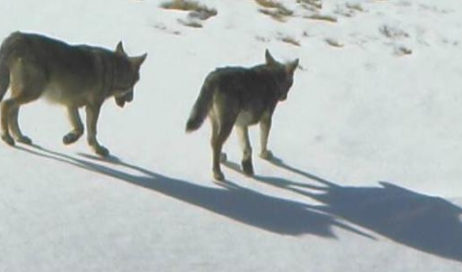 Fenestrelle. Due giorni sulle tracce del lupo