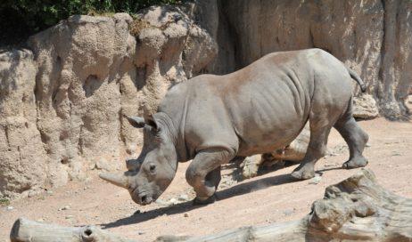 Al bioparco Zoom Torino arriva la Giornata del Rinoceronte