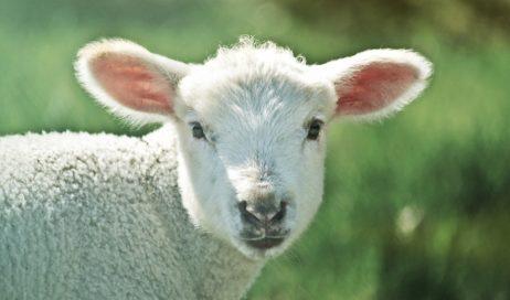 Ecco l'agnello di Dio
