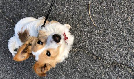 #coronavirus. Pinerolo cerca dogsitter volontari per i cani di persone anziane e in quarantena