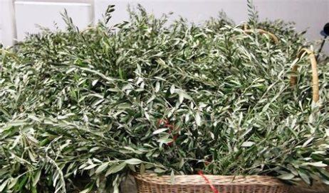 Perosa Argentina. I ramoscelli d'ulivo benedetti si possono trovare nei negozi