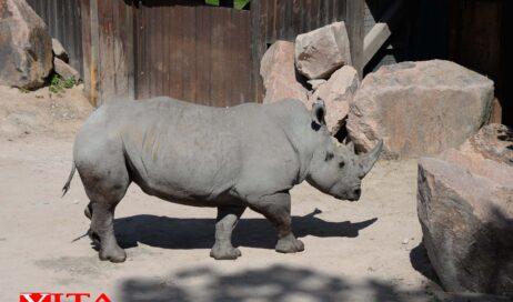 Cumiana. Una tonnellata di rinoceronte ha preso casa allo Zoom