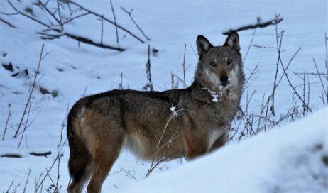 Regione. Valle (Pd): Il progetto WolfAlps deve proseguire!